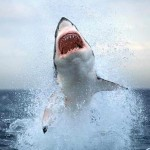 white-shark-061