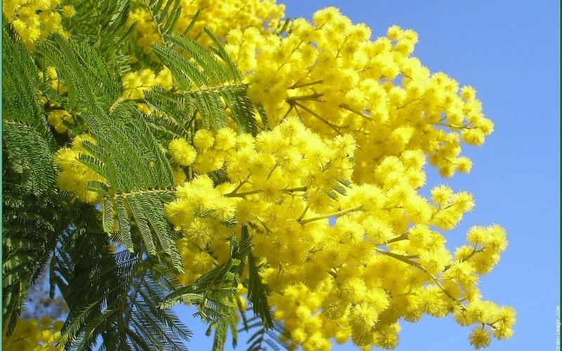 8 marzo: non ci sono più mimose Floribunda e Gaulois