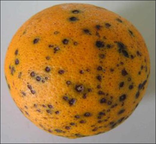 Ruvolo: Bisogna proteggere gli agrumi dalla Citrus Black Spot