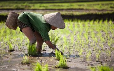 Il riso asiatico invade l'Europa e l'Italia ci rimette di più